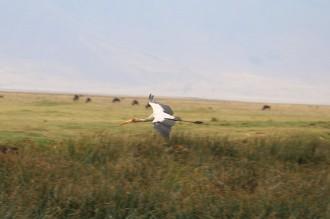 Yellow Billed Stork