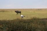 Yellow Billed Stork and Wildebeest