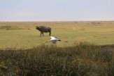 Yellow Billed Stork and Wildebeest