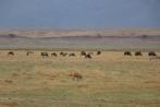 Hyena and Wildebeest