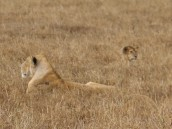 Lions in the long grass