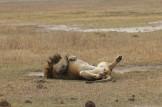 Lion at Rest