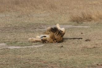 Lion Asleep
