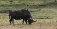 Buffalo with Oxpeckers