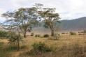 Yellow Fever Trees - misnamed by early European settlers