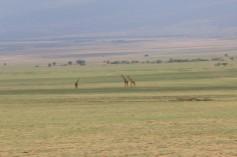 Giraffe on the endless plain