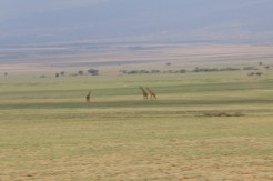 Giraffe on the endless plain