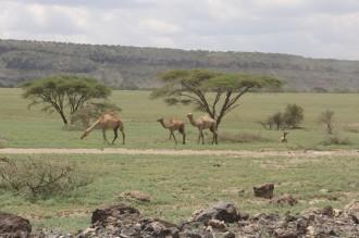 Camels in Ngorogoro!