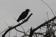Superb Starling