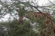 Giraffe in Acacia