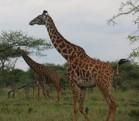 Masai Giraffes Feeding