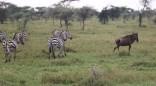 Zebra and Wildebeest