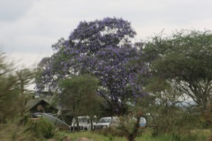 Purple Tree