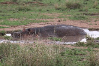 Wallowing Hippo