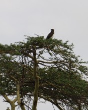 Black Chested Snake Eagle