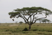 Weaver Birds in Tree