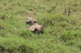 Lazing Hyena