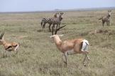 Grant's Gazelle and Zebra