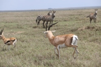 Grant's Gazelle and Zebra