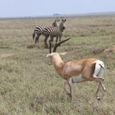 Gazelle & Zebra