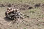 Lying Zebra