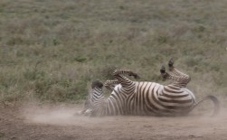 Rolling Zebra