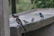 Hornbill, Sparrows and Starlings