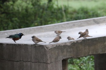 Sparrows and Starlings