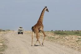 Giraffe Crossing