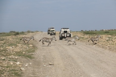 Zebras Crossing