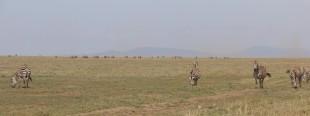 Zebra Plain