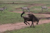 Galloping Wildebeest & Zebra