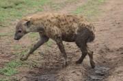 Muddy Hyena
