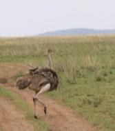Ostrich Crossing