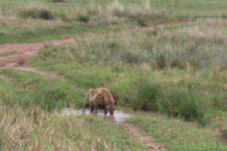 Hyena Drinking
