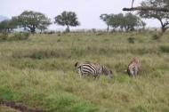Zebras in the long grass