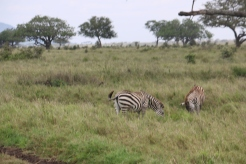 Zebras in the long grass