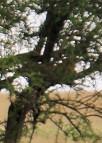 Leopard Hiding