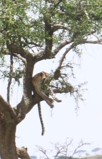 Leopard Exposed