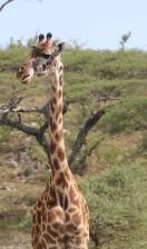 Giraffeq