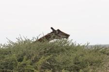 Giraffe above Acacia