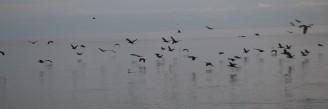 Cormorants in Flight