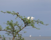 Egrets and Cormorant