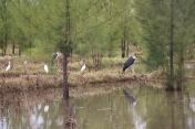 Maribu Stork and Egrets
