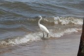Egret in the Waves