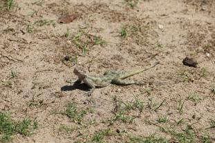Agama Lizard