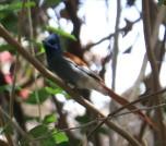African Paradise Flycatcher