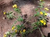 Yellow Verbena