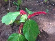 Chenile Plant