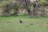 Guinea Fowl and Gazelle